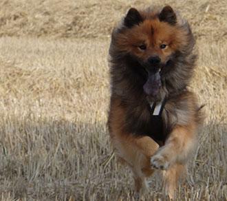 Hund rennt mit Hundegeschirr