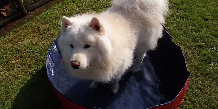 Hund im Hundepool